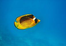 motylia zbliżenia ryba strzelający underwater Obrazy Stock