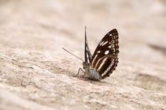 Motylia zbliżenie strona Zdjęcie Stock