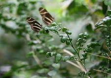 Motylia zebra longwing Zdjęcia Royalty Free