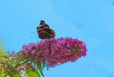 Motylich aglais urticae lily kwiat Obrazy Royalty Free