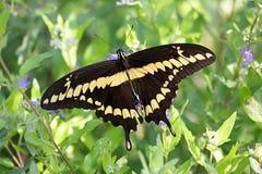 motylich cresphontes gigantyczny papilio swallowtail Zdjęcia Royalty Free