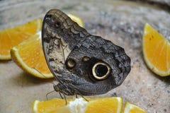 Motylich insekt owoc makro- zwrotniki Jukatan Zdjęcia Royalty Free