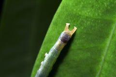 Motylie larwy Zdjęcia Stock