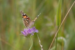 Motyliego Åumava natury zwierzęcego insec makro- kwiat Zdjęcia Royalty Free