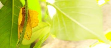Motyliego żółtego koloru makro- fotografia Obraz Royalty Free