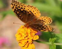 motyliego żółty kwiat Obraz Royalty Free