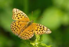 Motyliego argynnis paphia makro- tło Zdjęcie Stock