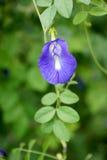 Motyliego grochu kwiat Obraz Royalty Free