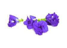 Motyliego grochu kwiat Fotografia Royalty Free
