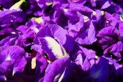 Motyliego grochu kwiat suszy w koszu dla mieszanki z gorącą wodą pić zdjęcie royalty free