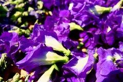 Motyliego grochu kwiat suszy w koszu dla mieszanki z gorącą wodą pić zdjęcia royalty free