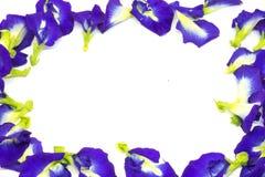 Motyliego grochu kwiat, Ten kwiat może kolorystyki sprawa w Tajlandzkim deserze ma błękit i purpury barwią Zdjęcia Stock