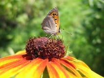 motyliego kwiatu heodes lycaena ru virgaureae Zdjęcie Stock