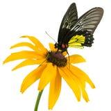 motyliego kwiatu kolor żółty Obraz Royalty Free