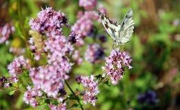 motyliego kwiatu purpury Fotografia Royalty Free