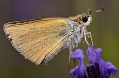 motyliego kwiatu szyper Obrazy Stock
