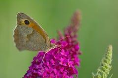 Motyliego lilego kwiatu makro- tło Obraz Royalty Free