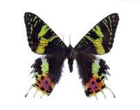 Motyliego Madagascan zmierzchu ćma Makro- Odosobniony Na Białym tle Obraz Stock