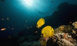motyliej chaetodon ryba zamaskowany semilarvatus Fotografia Royalty Free