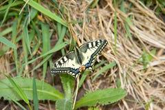 Motyliej natury zwierzęcy insec makro- Fotografia Stock
