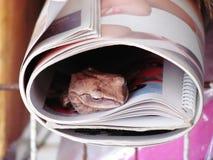 Mouchard commun de leucomystax de Polypedates de grenouille d'arbre dans le livre de petit pain photos stock