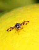 Mouche à fruit sur le citron photo stock