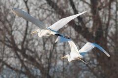 Mouche alba d'Egretta de héron de deux blancs dans le contre-jour Photographie stock