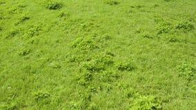 Mouche au-dessus du grain s'élevant sur le champ d'herbe sur le fond Paysage vert d'été de pré banque de vidéos