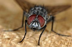 Mouche avec de grands yeux Image libre de droits