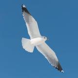 Mouche blanche d'oiseau sur le ciel bleu Photographie stock libre de droits