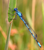 Mouche bleue de dragon Photos libres de droits