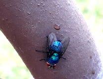 mouche bleue, log?e dans un tuyau brun image libre de droits