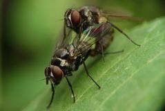 Mouche, couple d'insecte, multipliant photo stock