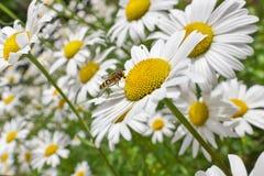 Mouche d'été sur des marguerites Image stock