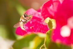 Mouche d'abeille dans Andalousie Espagne photographie stock libre de droits