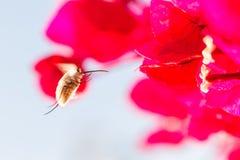 Mouche d'abeille planant dans Andalousie Espagne image libre de droits