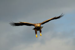 Mouche d'aigle coupée la queue par blanc dans le ciel Images stock