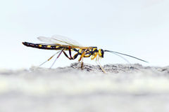 Mouche d'Ichneumon Photo stock