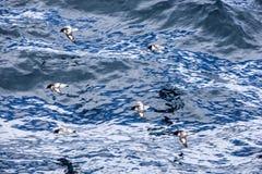 Mouche d'oiseau de pétrel de cap au-dessus de l'océan antarctique Photo libre de droits
