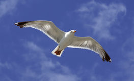 Mouche d'oiseau sur le ciel bleu. Photographie stock libre de droits