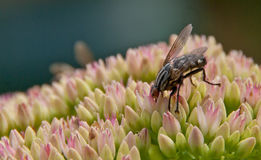 Mouche de carnaria de Sarcophaga sur une fleur de sedum Photos stock