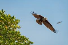 Mouche de cerf-volant de Brahminy dans le ciel bleu Foyer sélectif Photos libres de droits