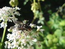 Mouche de cheval sur une fleur blanche Image libre de droits