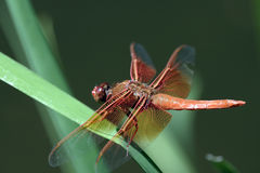 Mouche de dragon Photos stock