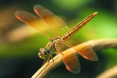 Mouche de dragon photographie stock libre de droits