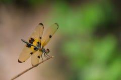 Mouche de dragon avec Wing Hang jaune sur la branche Photo libre de droits