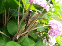 Mouche de dragon dans le jardin image libre de droits
