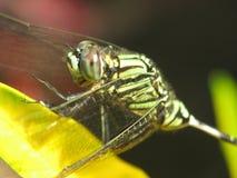Mouche de dragon sur une feuille jaune Photographie stock