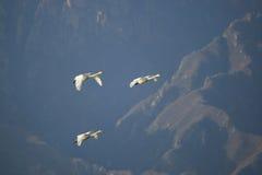 Mouche de famille de cygne au-dessus de montagne Image libre de droits