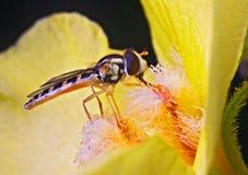 mouche de fleur Photo stock